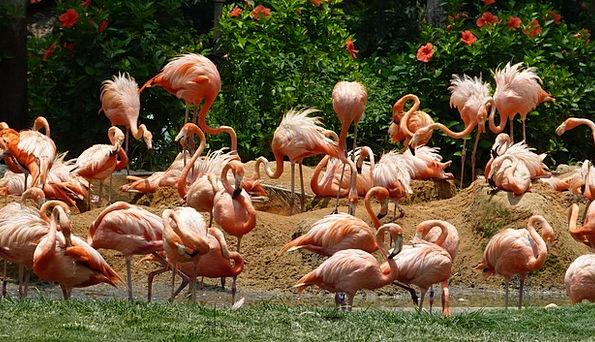 Flamingos Natures Pink Flushed Birds Color Hue