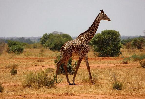 Giraffe Tsavo Kenya Mammal Creature Savanna Safari