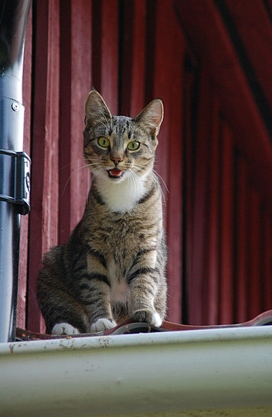 Cat Catlike Cat On Roof Feline Animal Physical Loo