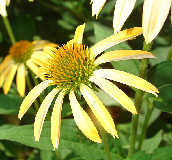 Coneflower Landscapes Creamy Nature Bloom Yellow P