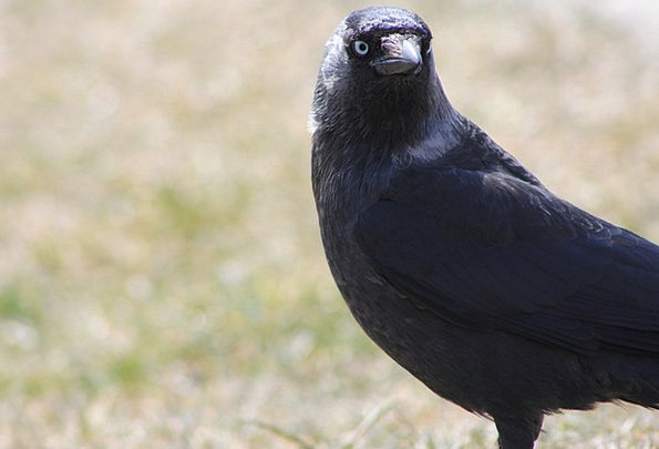 Crow Caw Fowl Rook Bird Bird Raven Scoff Sight Vis