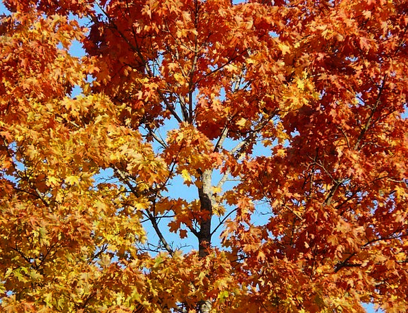 Fall Leaves Sapling Maple Tree Red Fall Color Sky