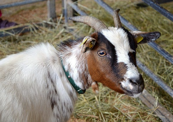Goat Domestic Goat Young Animal Farm Farmhouse Fur