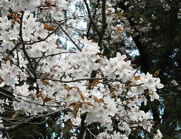 Cherry Pink Cherry Blossom Cherry Tree Cherry Blos