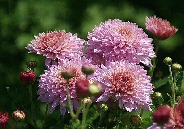 Astra Landscapes Plants Nature Garden Plot Flowers