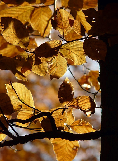 Beech Landscapes Nature Autumn Fall Beech Leaves G