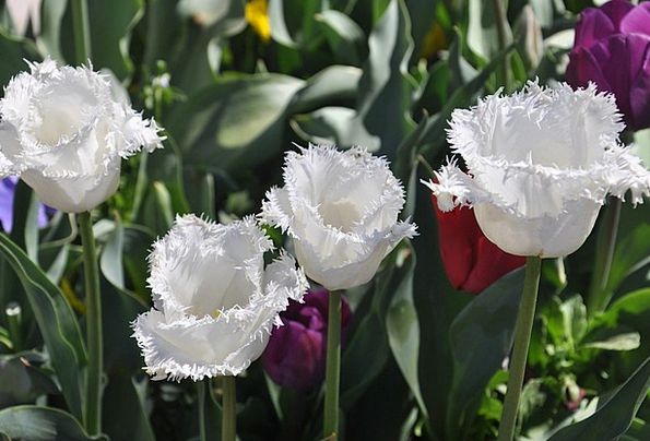 Tulip Snowy Bloom White Flower Floret Floriade Can
