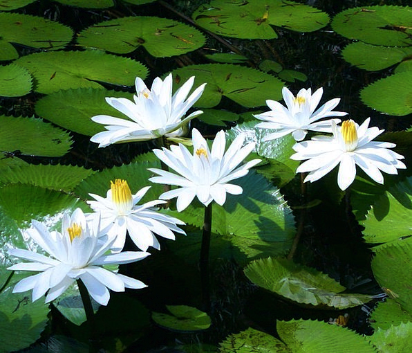 Water Aquatic White Snowy Lilies Lake Water Plants