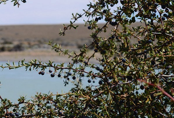 Calafate Drink Ovary Food Patagonia Fruit Argentin