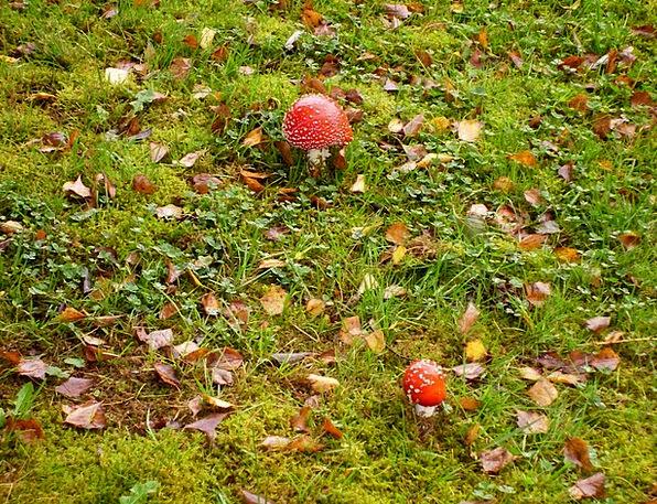 Mushrooms Burgeons Meadow Field Fly Agaric