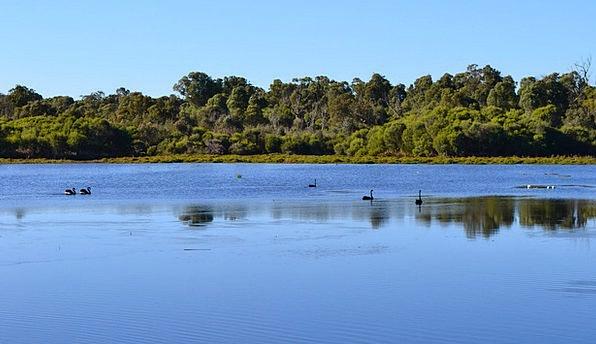 Australia Duck Bird Fowl Waterfowl Nature Countrys