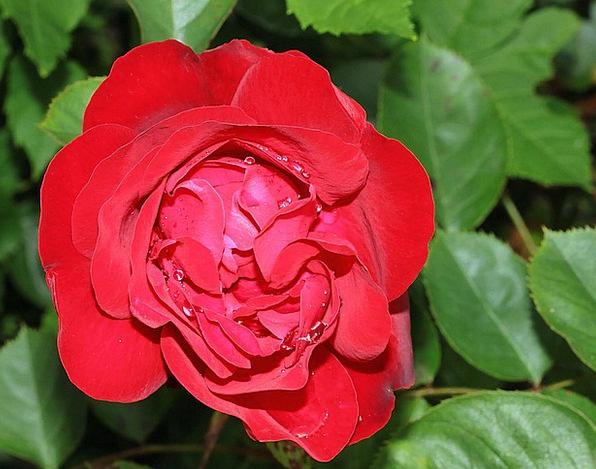 Rose Design Floret Red Bloodshot Flower Love Darli