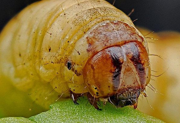 Caterpillar Worm Instruction Metamorphosis Transfo