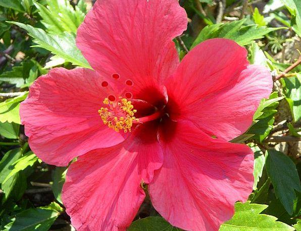 Hibiscus Landscapes Near Nature Flower Floret Clos
