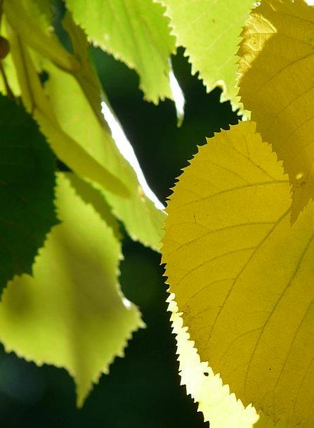 Lipovina Greeneries Jagged Sharp Leaves Shadow Edg