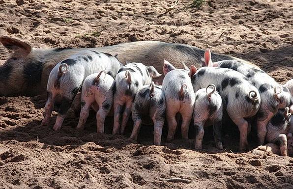 Pig Glutton Suckle Domestic Pig Piglet Animals Pet
