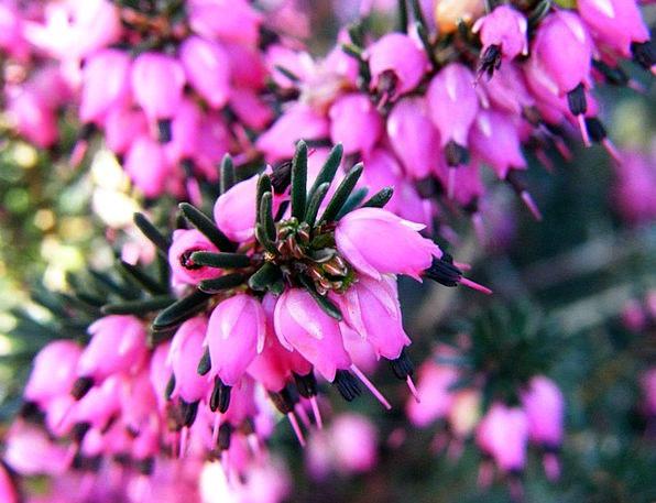 Violet Mauve Coil Flower Floret Spring Season Summ