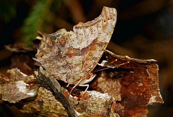 Butterfly Concealment Insect Camouflage Nature Cou
