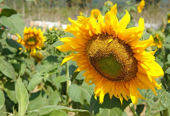 Sunflower Florae Flower Floret Plants Yellow Cream