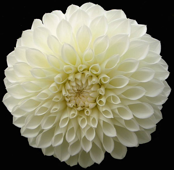 Dahlia Snowy Flower Floret White Bloom Blossom Iso