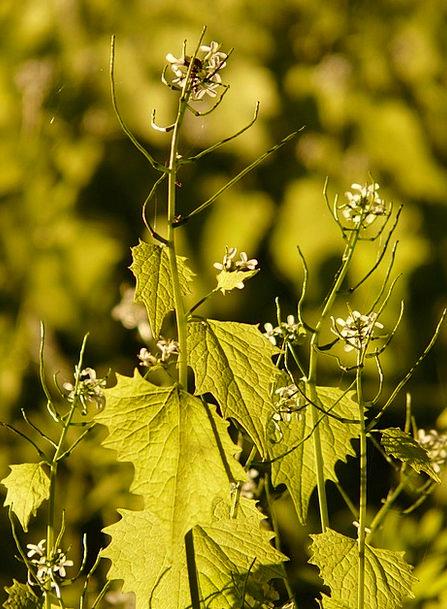 Garlic Mustard Knoblauchhederich Garlic Herb Green