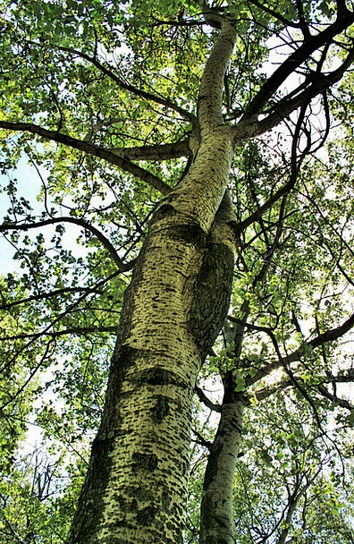 Birch Tree Plants Birch Cane Trees Tall High Leave