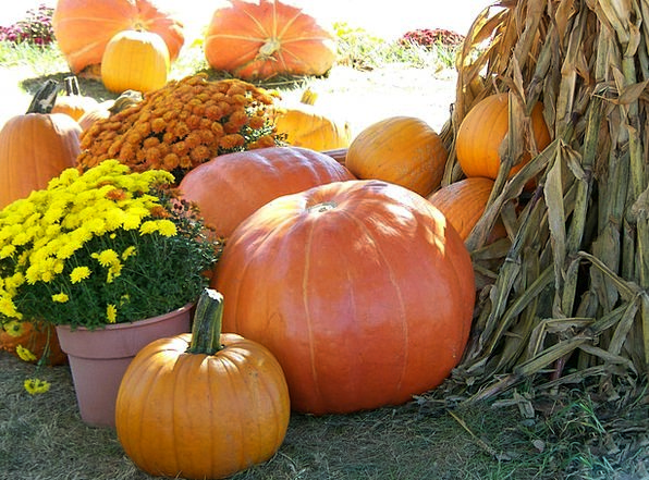 Pumpkins Plants Cornstalks Flowers Autumn Fall Hal
