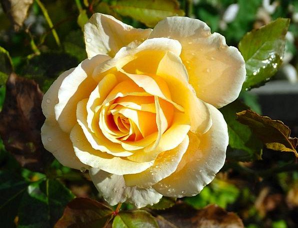 Rose Design Landscapes Creamy Nature Flower Floret