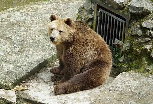 Brown Bear Menagerie Bear Tolerate Zoo Cozy Predat