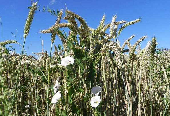 Funnel Thread Landscapes Nature Wheat Bindweed Spi