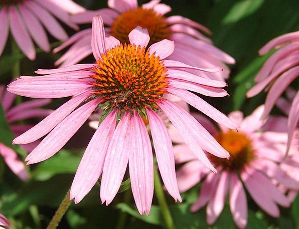 Coneflower Landscapes Flushed Nature Bloom Pink Bo