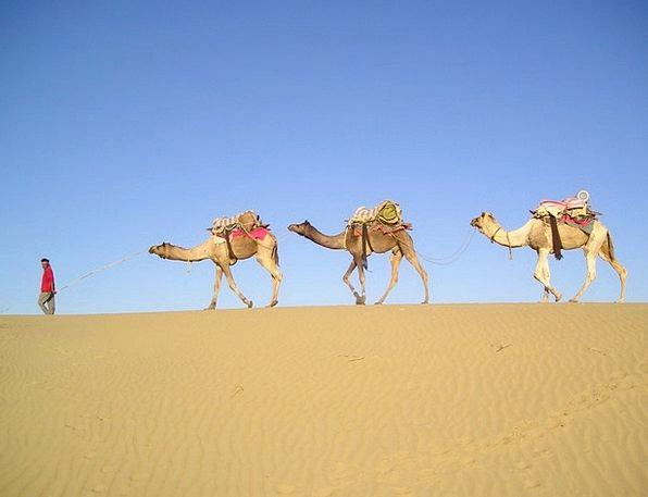 India Reward Camels Desert Caravan Convoy Camel Dr