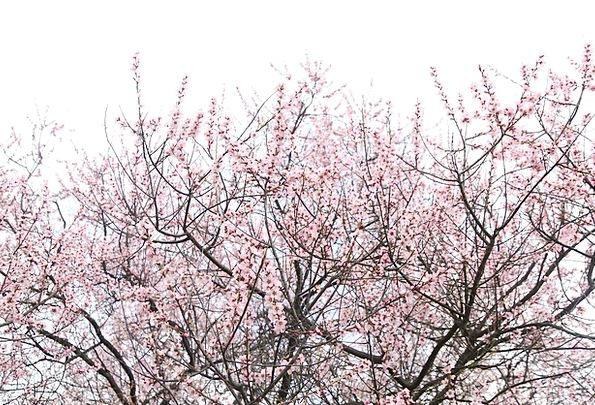 Peach Blossom Sky Blue Nyingchi Pink Flushed