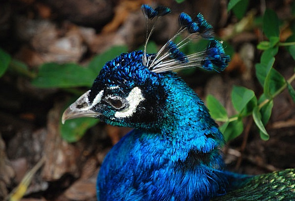 Peacock Showoff Head Skull Tail Feathers Bird Fowl