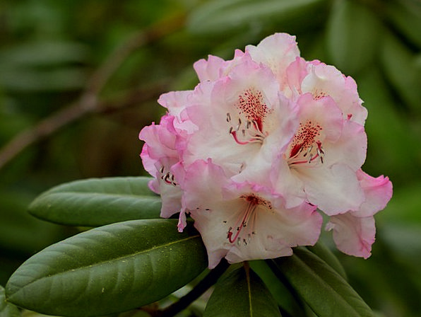 Rhododendron Tender Loving Double Flower