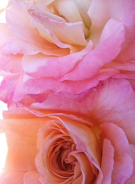 Rose Design Landscapes Flushed Nature Wild Rose Pi