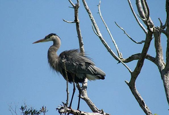 Bird Fowl Swamps Duck Stoop Everglades