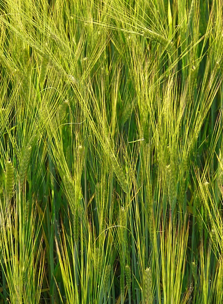 Barley Field Drink Food Cereals Mueslis Barley Foo