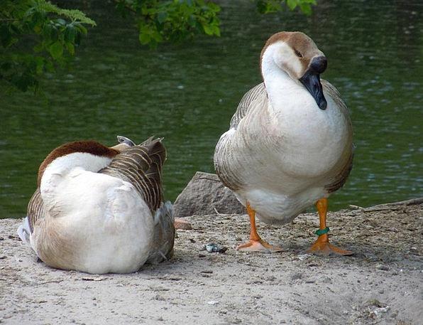 Poultry Fowl Dears Waterfowl Duck Ducks