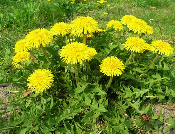 Dandelion Landscapes Coil Nature Plant Vegetable S