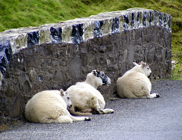 Sheep Ewe Traffic Angora Transportation Wall Parti