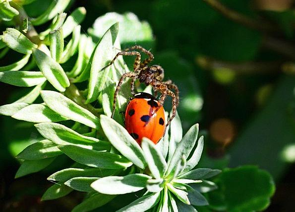 Wolf Spider Pardosa Amentata Ladybird Brown Seven-