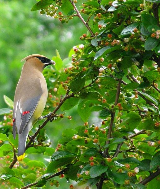 Cedar Waxwing Fowl Waxwing Bird Cedar Feathers Plu