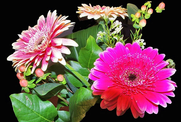 Gerbera Plants Fucsia Flowers Pink Flushed Leaves