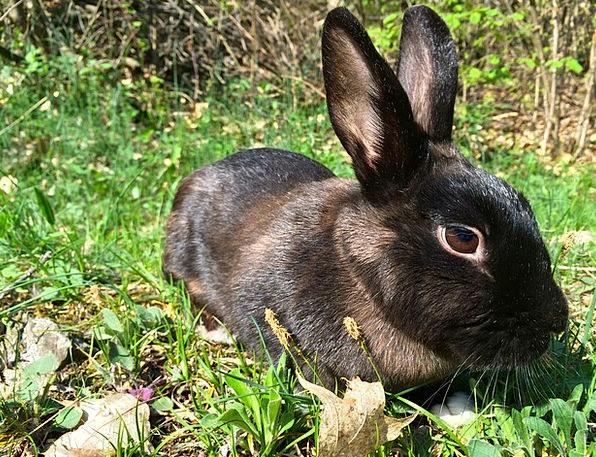 Rabbit Nero Bunny