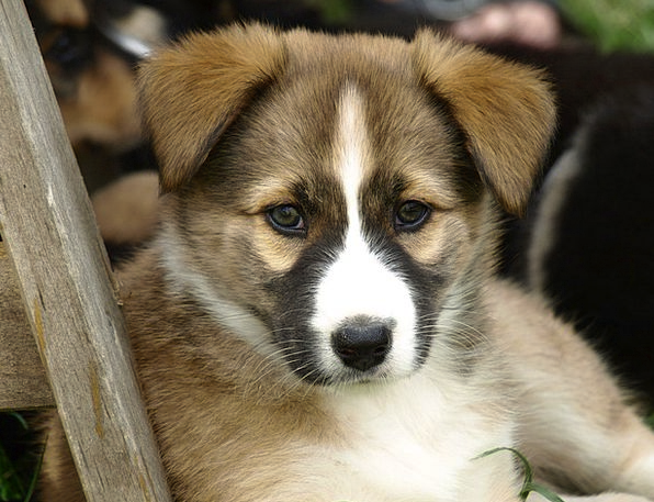 Puppy Brat Hybrid Cross Young Dog Cute Attractive