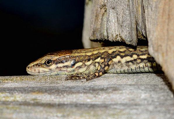 Reptiles Podarcis Lizard Muralis