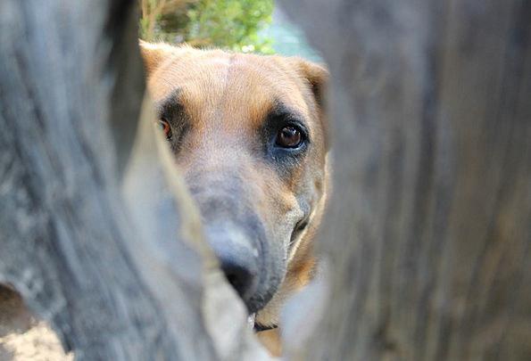 Dog Canine Shepherd Marshal Knot Hole Hound Pooch