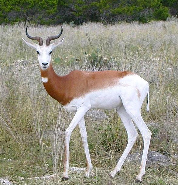 Springbok Gazing Antidorcas Marsupialis Staring An