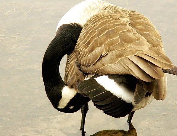 Canada Goose Water Bird Goose Feather Bird Fowl Bi
